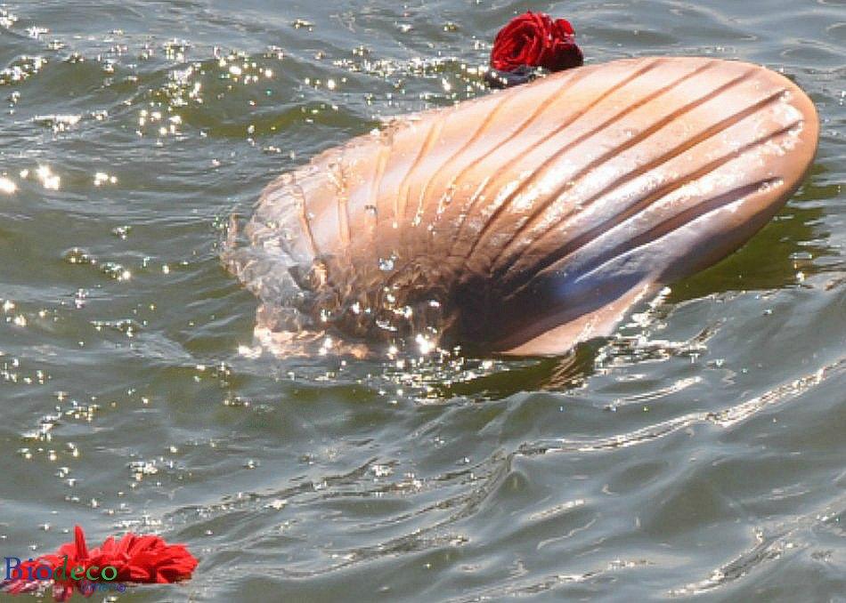 De biologisch afbreekbare zee-urn Schelp in de kleur zand bijgezet in de Noordzee voor de kust van Scheveningen