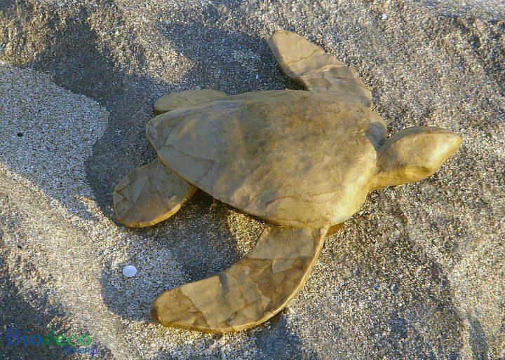 De zee-urn Schildpad Mini, van gerecycled papier, op het strand van Scheveningen