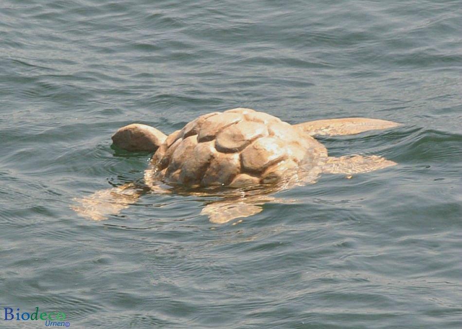 De biologisch afbreekbare zee-urn Schildpad drijvend in zee, asbijzetting in de Noordzee voor de kust van Scheveningen